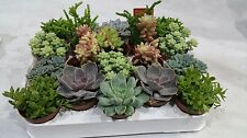 Set of 10 Mixed Succulent Plants  House Plants, pots 5,5cm