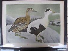 Original  1930  Rex Brasher #160  Hand Colored Bird Print  Eider  #160REX2 DSS