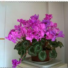 15x seeds Cyclamen purple