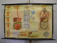 Wandbild Ernährung Zahn Magen Darm Doktor 168x114cm vintage doc wall chart ~1960