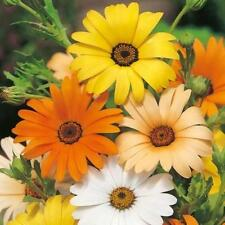 200+African Daisy Mix Seeds White Orange Yellow Apricot Drought Tolerant Annual