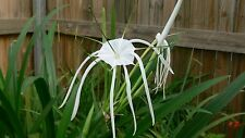 White Spider Lily with leaves and roots