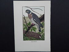 BIRDS, ERIC FITCH DAGLISH, Engraving, c. 1948 Wood Pigeon #24