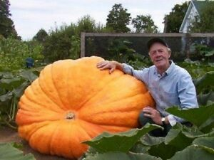 V177 PUMPKIN DILL'S ATLANTIC GIANT x5 seeds WORLD RECORD HUGE FRUIT