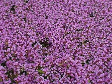 BRECKLAND THYME SEEDS CASCADE FLOWERING GROUNDCOVER ROCKERY POT HARDY 1400 SEEDS
