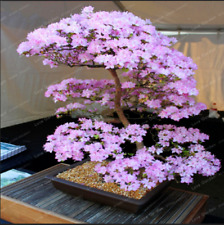 10 Pcs Seeds Sakura Bonsai Flowers Cherry Blossoms Tree Blossom Plants Garden Z