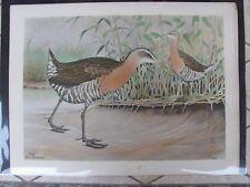 Original  1930 Rex Brasher #208 Hand Colored Bird Print King Rail  #208REX2 DSS