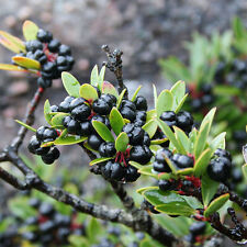Mountain Pepper (Tasmannia lanceolata) 50 Seeds/Bush Tucker