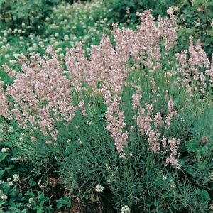 Lavender 'Rosea' XL Plug Plant x 2. Pink Flowers. Perennial Aromatic.