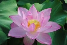 "Chinese Sacred Lotus Seeds x 2 ""Light Pink"" Nelumbo Nucifera (RARE)"