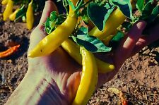 Certified Organic Aji Amarillo Chili Pepper Seeds (~35): Non-GMO Heirloom Packet