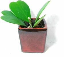 Sweetheart Hoya Kerrii Plant 4'' Ceramic Pot Live Indoor Heart Rare Cute Rare