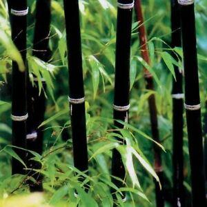 Phyllostachys Nigra Black Stem Bamboo Large Clump 2-3Stems APPROX 1-1.2m tall