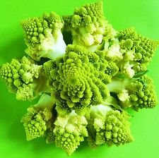 ROMANESCO - MIRACOLI - 100 Seeds [..a compelling ancient Italian vegetable!]
