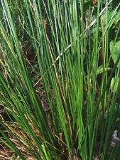 LIVE SOFT RUSH BOG PLANT /KOI POND -WATER GARDEN PLANT/SOIL PLANT