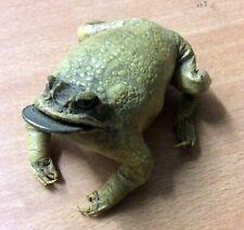 véritable  grenouille naturalisée porte bonheur pièce monnaie (10.19a)
