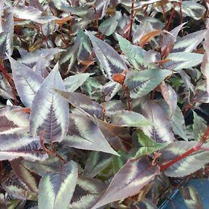 PERSICARIA RED DRAGON GROUND COVER VIGOROUS PERENNIAL GARDEN PLANT