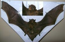 Pipistrelus kuhlii Complete small dried bat Spread Taxidermy REAL