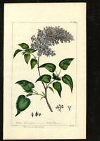 Original Phillip Miller Print - 1807 - Scotch Lilac Pl. CLXIII