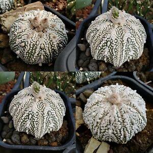 astrophytum asterias'super' Mirakuru gene Picked in May 2020 very fresh 30 seeds