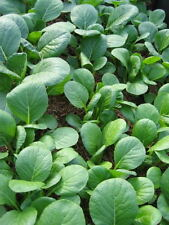 1500 SPINACH MUSTARD TENDERGREEN Komatsuna Greens Brassica Rapa Vegetable Seeds