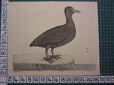 c1735 PRINT THE BALD COOT ~ ANTIQUE BIRD PRINT ELEAZER ALBIN ~