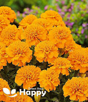 FRENCH MARIGOLD - PETITE ORANGE - 350 seeds - Tagetes Patula nana ANNUAL FLOWER