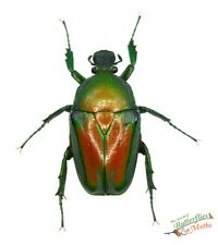 Dicronorrhina derbyana layardi beetle SET x1 FM Zambia cetonidae insect T1