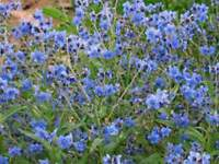 Forget-Me-Not- Chinese blue- 500 Seeds- BOGO 50% off SALE