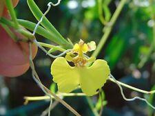 Oncidium/Tolumnia urophylia Bloom size Mounted tree fern 10 Plus Plants