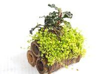 """Bucephalandra sp. """"Red"""" Bamboo Live Aquarium Plants / Shrimp Cave Aquascaping"""