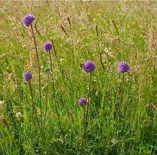 Wildflower Semences-Devil 's-bit Scabieux - 200 graines