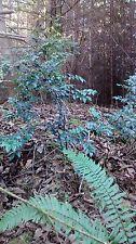 3 Huckleberry Bushes  4'  Naturally Grown  EDIBLE. USDA 6-9