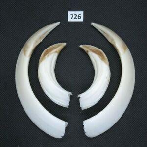 Wild boar tusks (no. 726), trophy, taxidermy, tooth, teeth