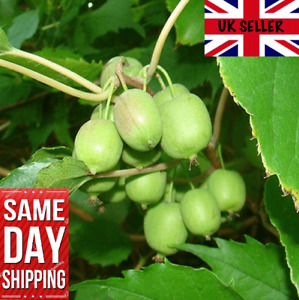 "Kiwi Berry ""Issai"". UK Hardy. Mini Kiwi Fruit With Edible Skins 15 Seeds"