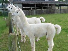 Alpaca PIERNAS Y Cuello De Polar 100% Para Spinning O fieltrar 1 kg Blanco