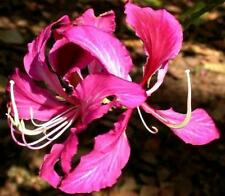 Purple Flowering Bauhinia Seed Small Tree Drought Hardy