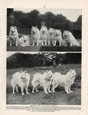 SAMOYED ORIGINAL VINTAGE 1930's DOG PRINT PAGE MISS KEYTE-PERRY'S DOGS