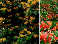 Lonicera Zierpflanzen Zierbäume Kletterpflanzen blühend winterhart Stecklinge