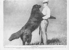 1934 Dog Print / Bookplate - NEWFOUNDLAND, An Immense Dog, Man with Large Dog
