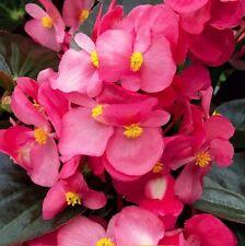 A 50 wax begonia seeds OREB H nice pink blooms