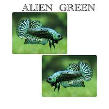 Live Betta Fish - Alien Green  (Male)