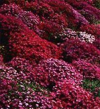 50+ Aubrieta Rock Cress Red Flower Seeds / Perennial