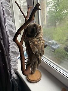 Taxidermy Mounts Long Ear.O.W  Real Bird Mount Stuffed