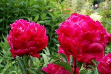 Peony/paeonia plant 'Karl Rosenfield' 2/3 eyes bare roots Shipping Oct. 2017