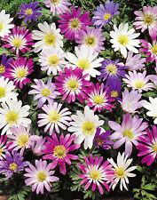 25,50 oder 100 Anemonen Zwiebeln blanda gemischt Blumenzwiebeln