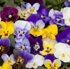 35+ BEL VISO VIOLA FLOWER SEED MIX / SHADE LOVING PERENNIAL