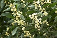 20 AUSTRALIAN BLACKWOOD TREE Black Acacia Melanoxylon Wattle Yellow Flower Seeds