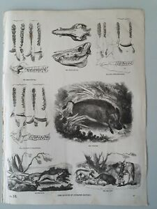 Antique WILD BOAR Scientific  PICTURE 1851 ART PRINT FROM VINTAGE BOOK HUNTING