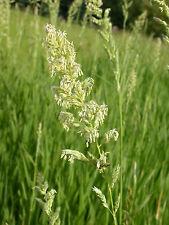ROHRGLANZGRAS 5.000 Samen Phalaris Arundinacea Havelmilitz  Rohrglanz Gras